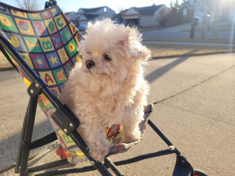"""Lena Trang's dog, Lexi, is a teacup poodle, and Lena has had her since fourth grade. Her dad bought Lexi off Craigslist from a lady who was moving for work, and he paid her $200 for Lexi. They got her because she was cheap.  """"When you buy a bargain dog, you get a bargain dog,"""" Lena said. """"She doesnt play fetch, and she doesnt do tricks, but she likes to ride around the neighborhood in a baby stroller.""""  Lena describes her dog as shrewd, difficult, and dinky. Lexi spends her time sleeping on bathroom matts and inside of her shark bed. Even so, Lena loves her because her funny faces always make her laugh."""